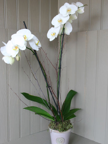 Orchid - double stemmed in Kew Botanics long tom.