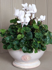 Cyclamen in footed Kew Botanics planter
