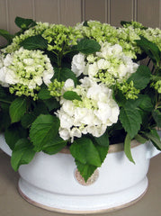 Hydrangea plants in extra large Kew Botanics planter
