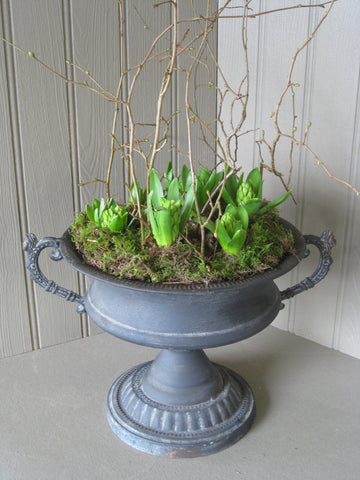 Hyacinth bulbs in large rustic urn.