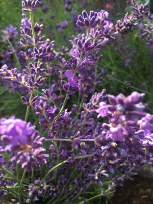English lavender plant, close-up of flowers