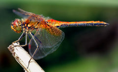 A male Yellow-winged Darter (Sympetrum flaveolum) dragonfly, courtesy of Wikipedia