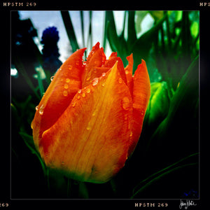 Tulip with Raindrops
