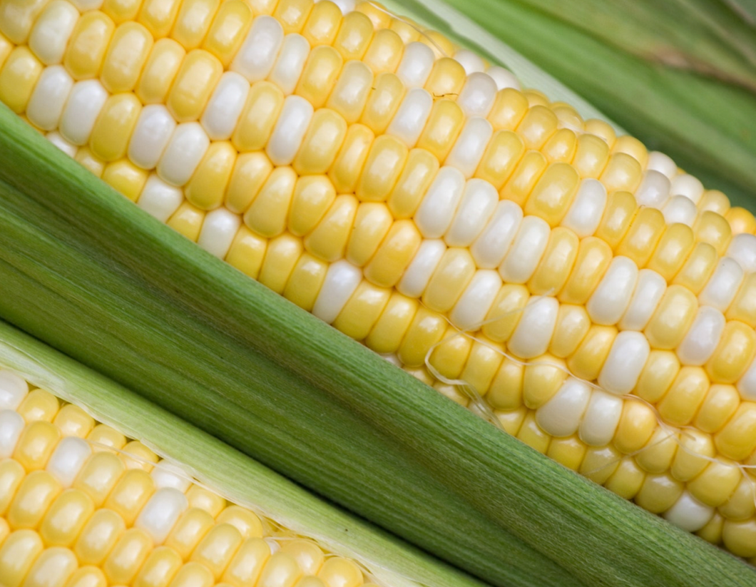 Fresh Local Bi-colored Corn