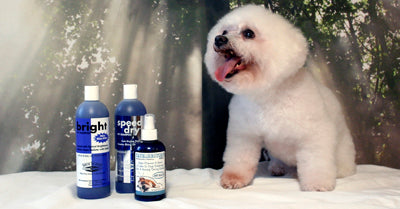 Picture of Bichon Frise and Best Shampoo for Bichons