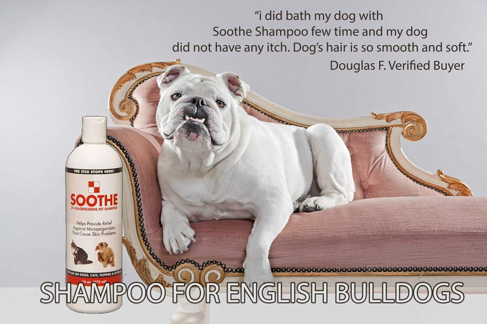 English Bulldog Shampoo Poster