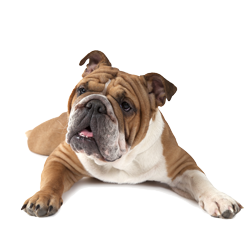 English Bulldog Shampoo Model