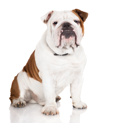 Shampoo for English Bulldogs Model