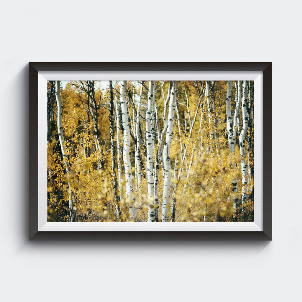 Aspens in Alberta <br>Limited Edition Archival Fine Art Chromogenic Print