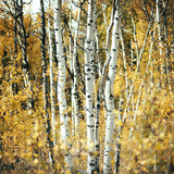 "Sample 8x8"" Print <br>Alberta Aspens<br> Matte Finish"