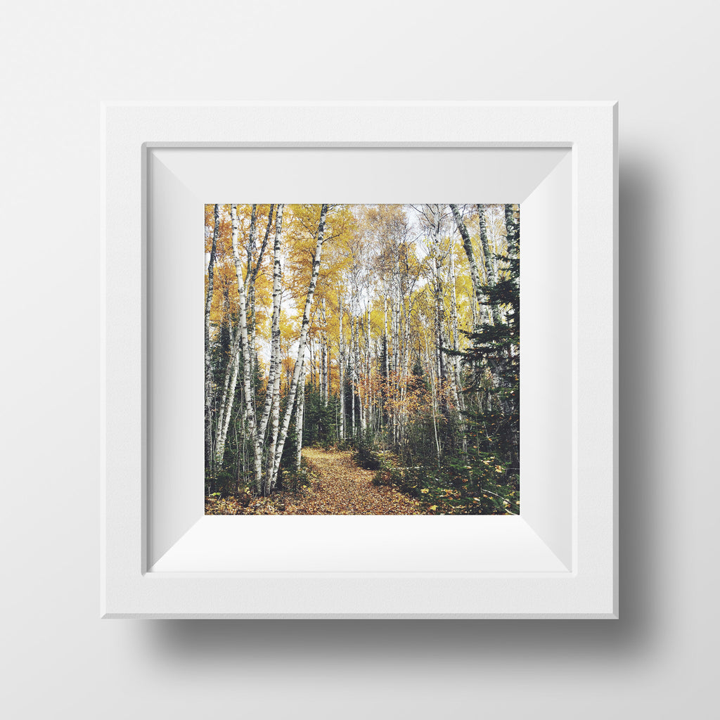 "SALE 5x5"" Print <br>Birch Trees in Autumn<br> Matte Finish"