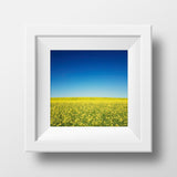 "SALE 12x12"" Print<br>Canola Field in Canada<br>Metallic Finish"