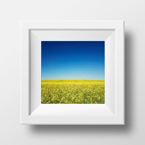"CLEARANCE 12x12"" Print<br>Canola Field in Canada<br>Metallic Finish"