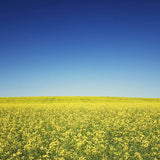 Canola Field in Alberta <br>Archival Fine Art Chromogenic Print
