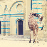 CLEARANCE Print <br>Giraffe at Berlin Zoo<br>Various Finishes + Sizes