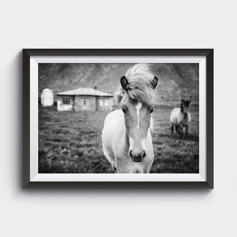 Kuva Collection<br> Icelandic Colt<br> Near Breiðdalsvík Iceland<br>Limited Release Archival B+W Print