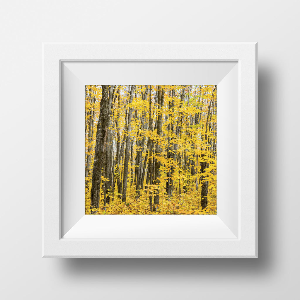 CLEARANCE Print <br>Sugar Maples in Autumn<br>Metallic Finish + Various Sizes