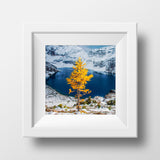 Lone Larch in Autumn<br> Yoho National Park Canada<br>Archival Fine Art Chromogenic Print