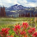 Paintbrushes + Meadows <br>Wildflowers in B.C<br>Archival Fine Art Chromogenic Print