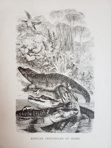 1885 African Crocodiles at Home