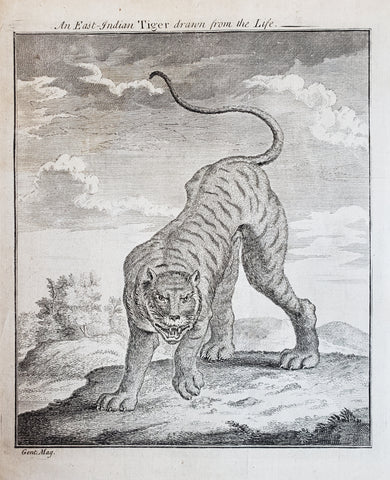 1750 An East Indian Tiger Drawn from the Life