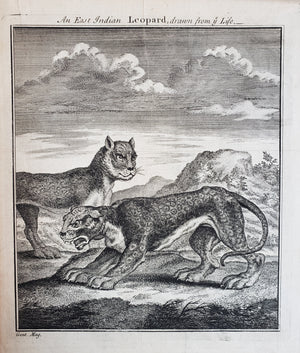 Antique Print - An East Indian Leopard drawn from Life by Gentleman's Magazine, 1750