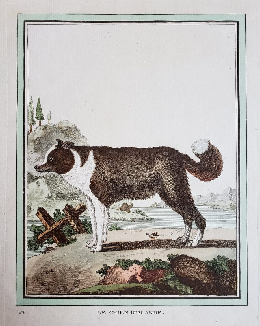 Antique Print - Le Chien D'Islande (The Icelandic Dog) by Buffon, 1770