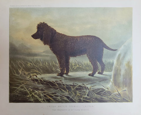 1881 Irish Water Spaniel