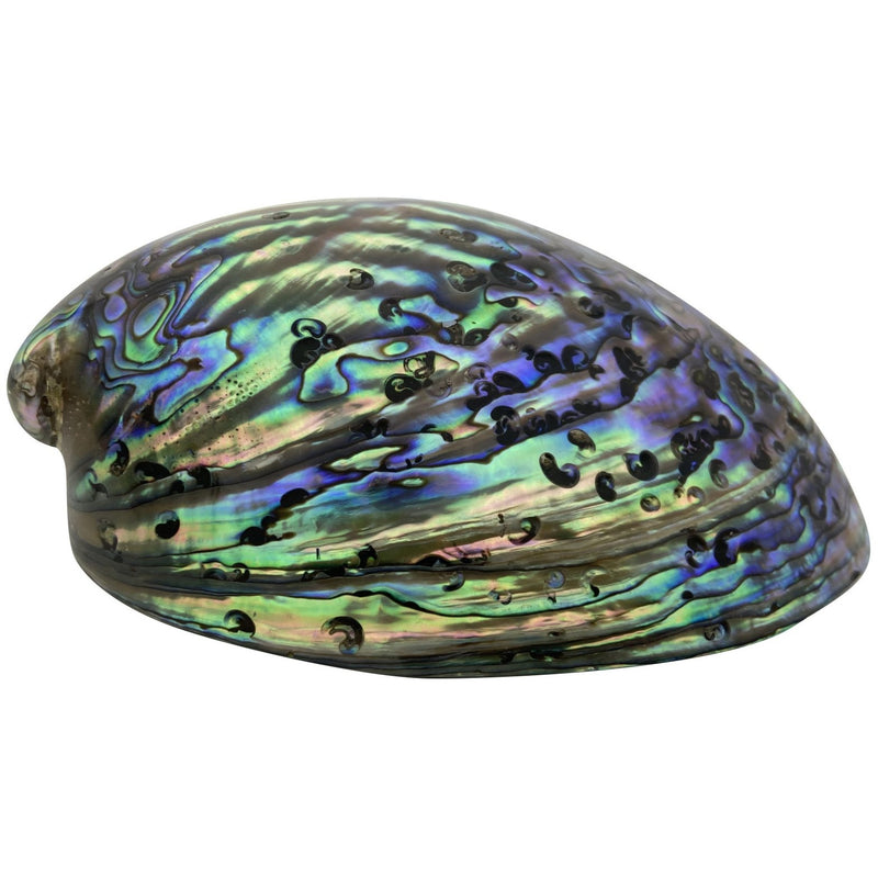 A-Grade Polished Abalone Shell - East Meets West USA