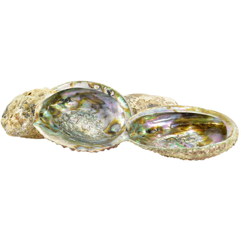 Abalone Shell - East Meets West USA