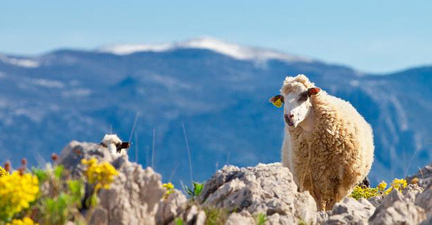 Pag Island: The Unexpected Home of an Award-Winning Sheep's Cheese