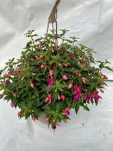 "Load image into Gallery viewer, 11"" Fuchsia Hanging Basket"
