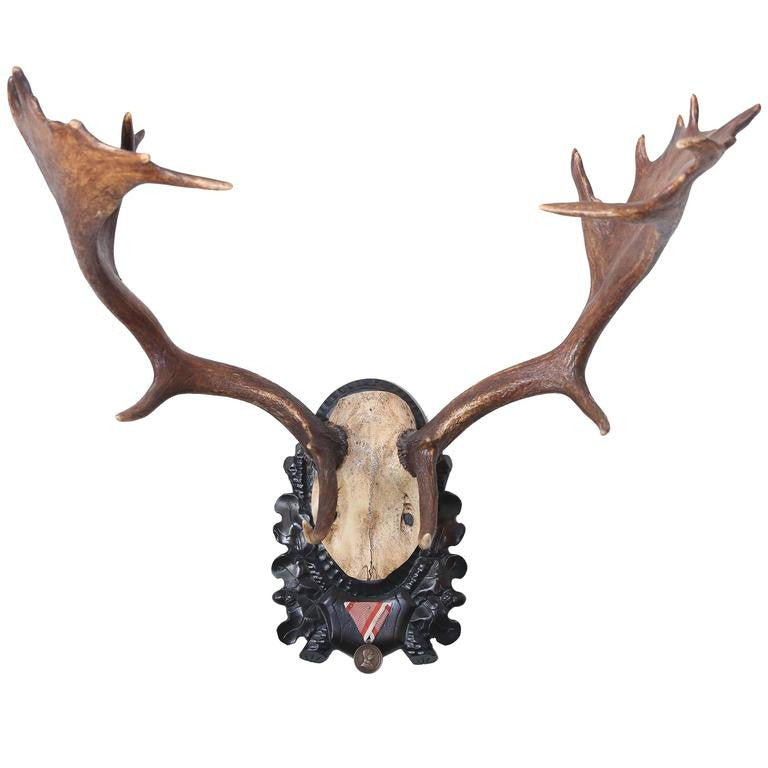 19th Century Habsburg Fallow Deer Trophy from Eckartsau Castle