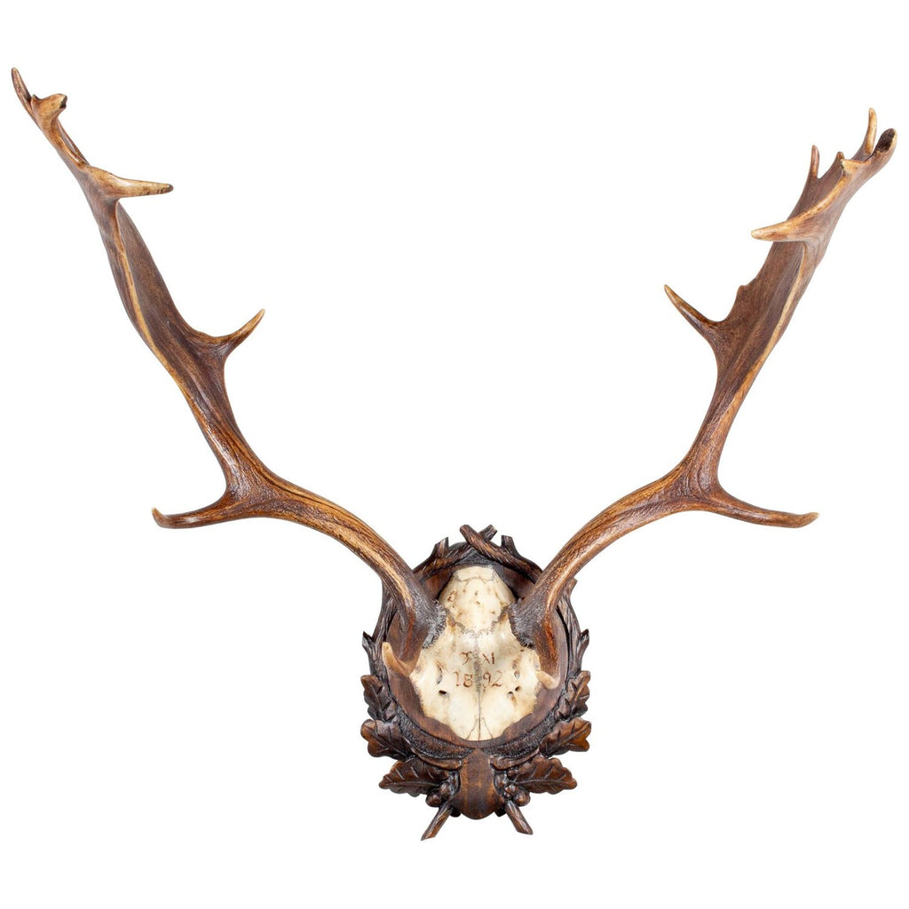 Habsburg Fallow Deer Trophy of Emperor Franz Josef from Eckartsau Castle