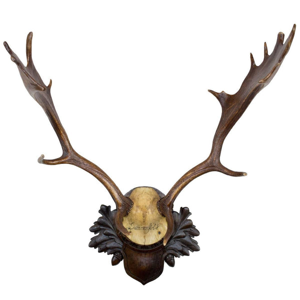 19th Century Fallow Deer Trophy on Original Black Forest Plaque