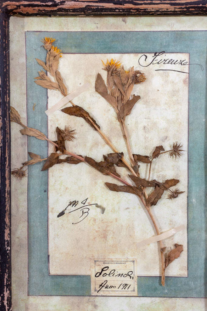 Antique Pairing of Framed Italian Dried Botanicals, circa 1901-1912