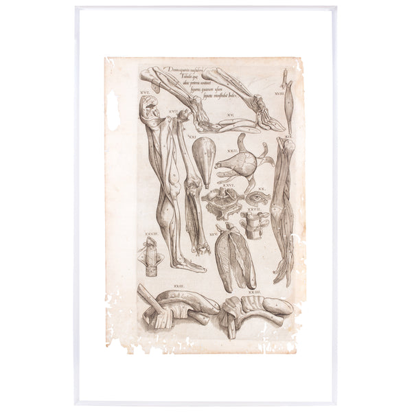 Century Andreas Vesalius Anatomical Print on Acrylic