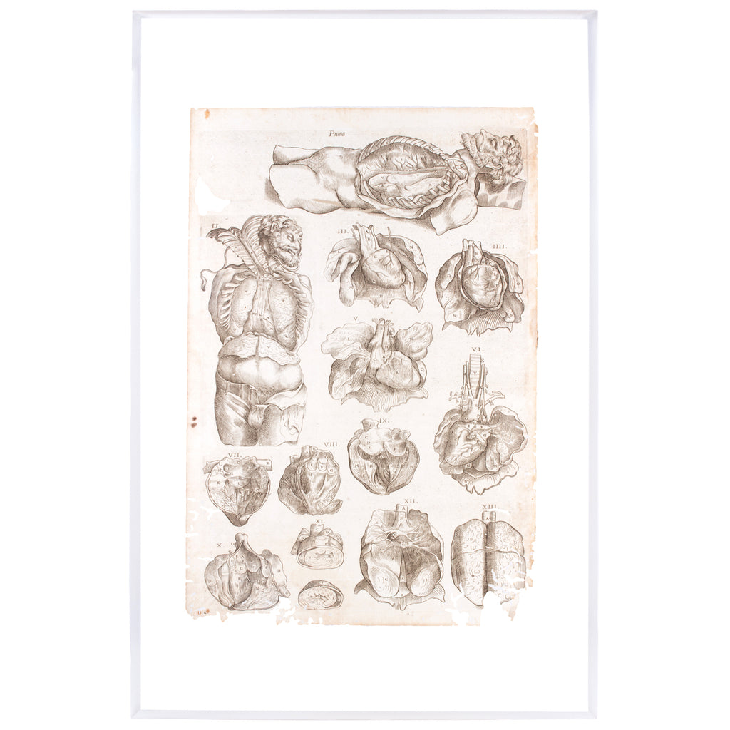 16th Century Andreas Vesalius Anatomical Print On Acrylic Laurier