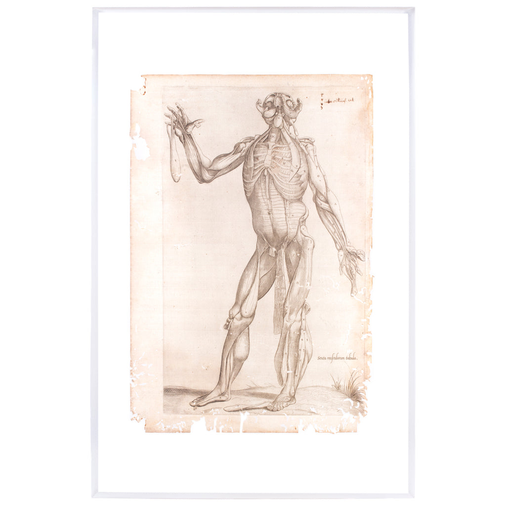16th Century Andreas Vesalius Anatomical Print on Acrylic – Laurier ...