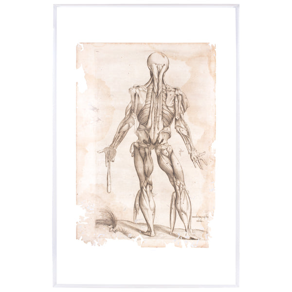 16th Century Andreas Vesalius Anatomical Print on Acrylic