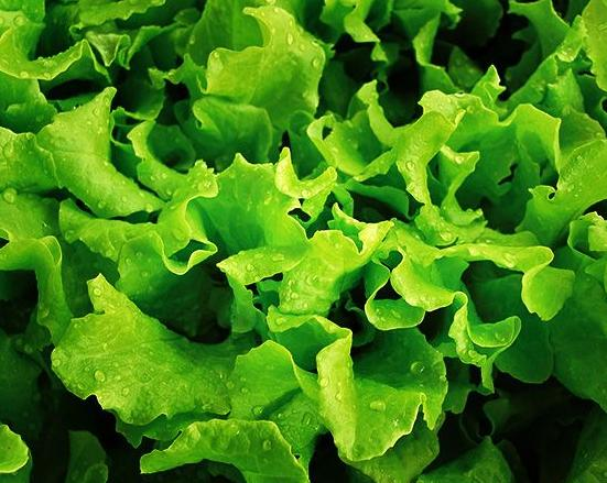 Henderson's Black Seeded Simpson Lettuce