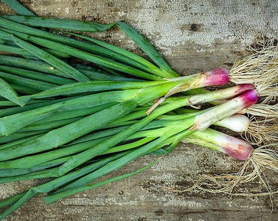 Red Welsh Onion