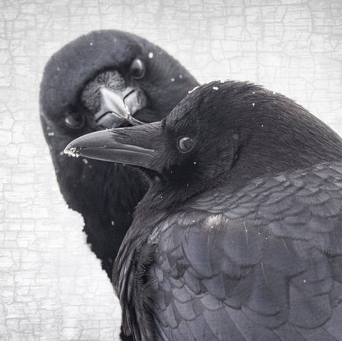 /></p> <p><strong>About this image ...</strong></p> <p> </p> When Vancouver was unexpectedly blanketed in snow, Marvin tenderly cleared the early morning frost from his mate, Mavis's tail feathers. Later he delicately combed the snowflakes out of the feathers on her beak. <p><a href=