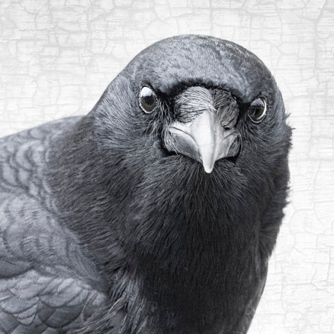 INTENTION - Fine Art Print, Crow Portrait Series