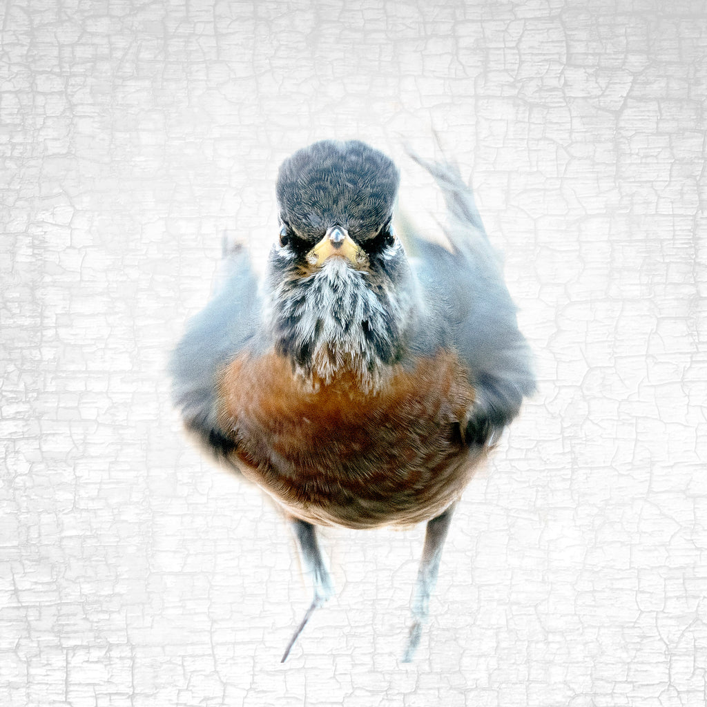 THE AMERICAN ROBIN OF JUDGEMENT — Fine Art Print, Judgmental Birds Collection