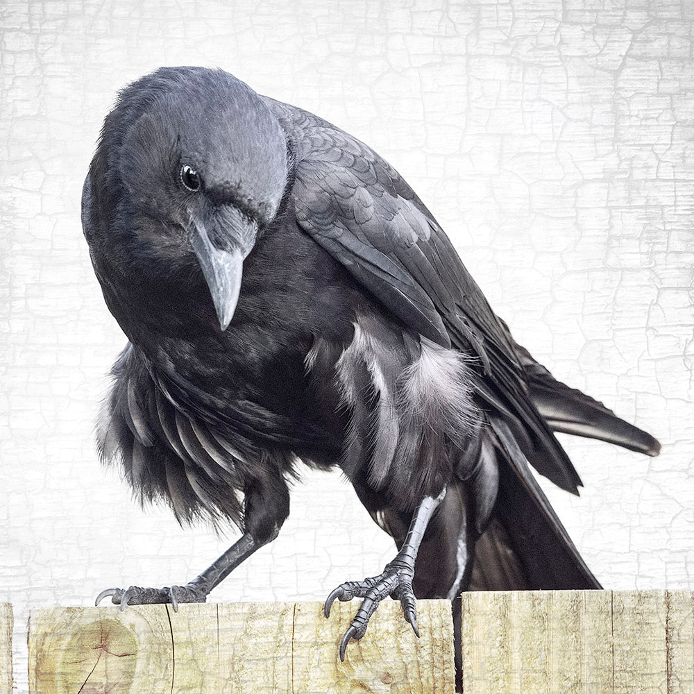 FANCY PANTS - Fine Art Print, Crow Portrait Series