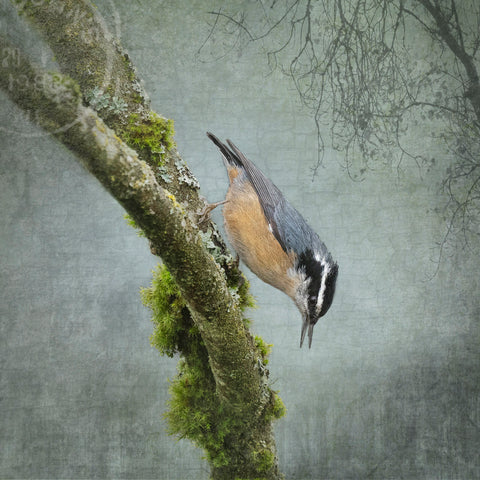 RED BREASTED NUTHATCH - Fine Art Print, Garden Birds Series