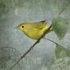 ORANGE CROWNED WARBLER - Fine Art Print, Garden Birds Series