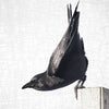 THE DANCER - Fine Art Print, Crow Portrait Series