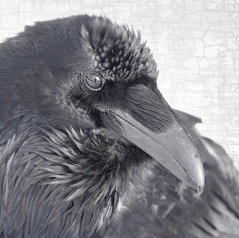 RAVEN THOUGHTS - Fine Art Print, Raven Portrait Series